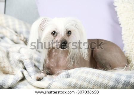 Chinese Crested dog resting on sofa, indoors - stock photo
