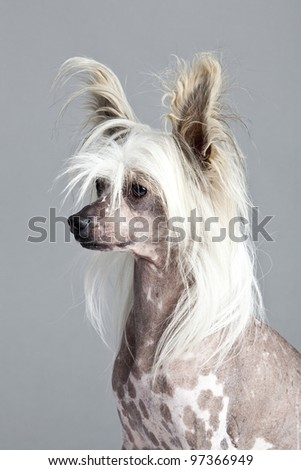 Chinese Crested Hairless Dog - stock photo