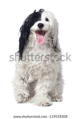Chinese Crested Powder puff dog.  isolated - stock photo