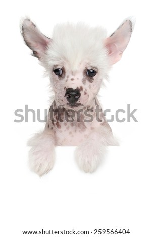 Chinese crested puppy above banner isolated on white background