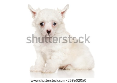 Chinese crested puppy sits on white background