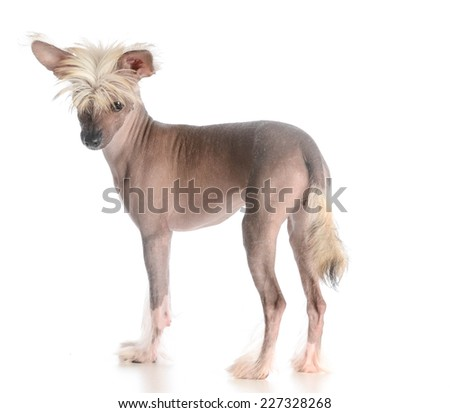 chinese crested puppy standing on white background