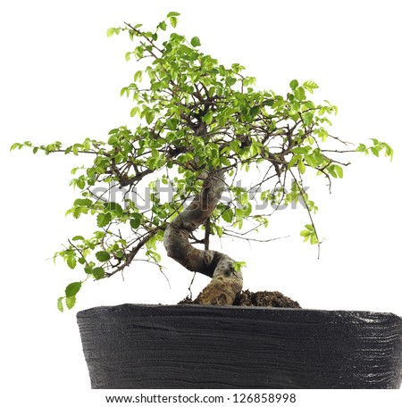 Chinese elm, green as bonsai in spring