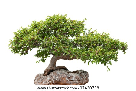 Chinese elm, green bonsai tree growing on a rock. Isolated on white.