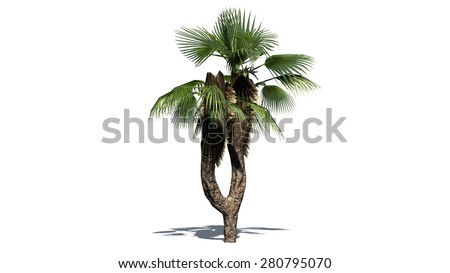 Chinese Fan Palm - isolated on white background