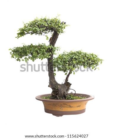 Chinese gardening, elm on a white background