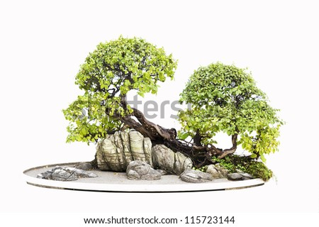 Chinese gardening, elm on a white background - stock photo