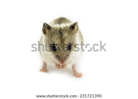 Chinese hamster isolated on white (Cricetulus griseus). - stock photo