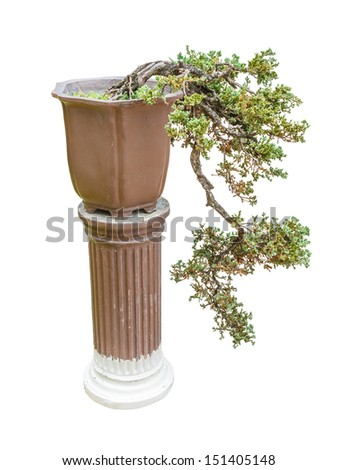 Chinese juniper as bonsai tree isolated on white background - stock photo