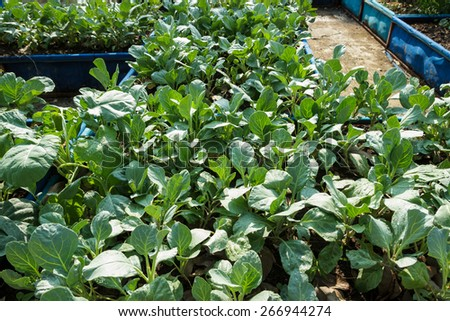 Chinese kale vegetable in garden. - stock photo