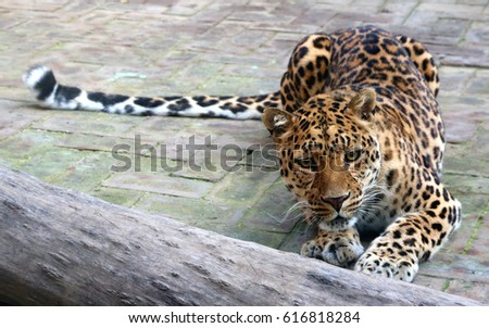 Chinese leopard or North China leopard