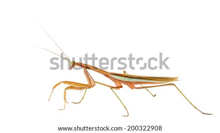 Chinese mantis adult male isolated on white.