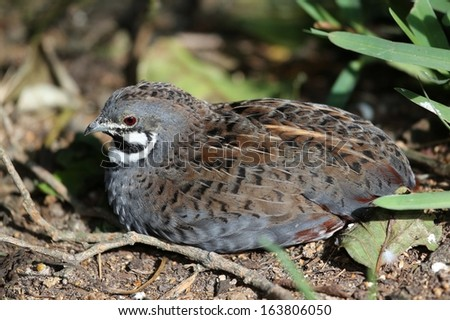 Chinese Painted Quail with beautiful markings  resting in the undergrowth - stock photo