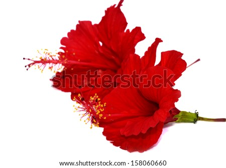 Rosa sinensis flower stock images royalty free images vectors chinese red hibiscus flowers ccuart Image collections