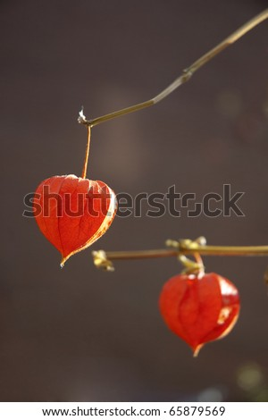 chinese red lantern flower lampion