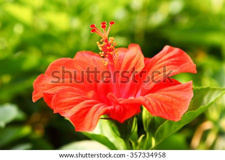 Chinese red rose ( Hibiscus rosa) close-up - stock photo