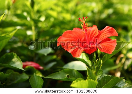 Chinese red rose ( Hibiscus rosa) on a green tree - stock photo