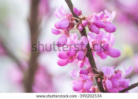 chinese redbud blooming in spring - stock photo