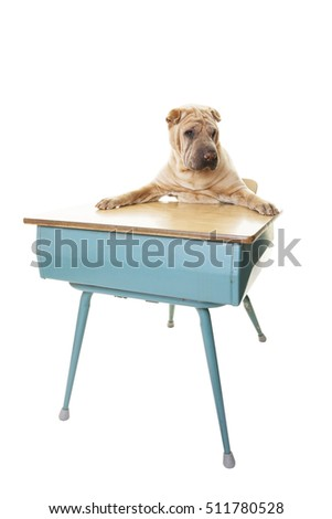 Chinese Sharpei sitting at a desk at dog obedience school.  Shot on White background.
