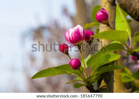 Chinese small apple flower and bud - stock photo