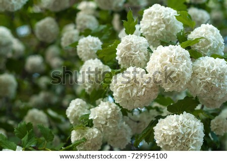 Chinese snowball viburnum flower heads snowy stock photo 729954100 chinese snowball viburnum flower heads are snowy blooming of beautiful white flowers in the summer mightylinksfo