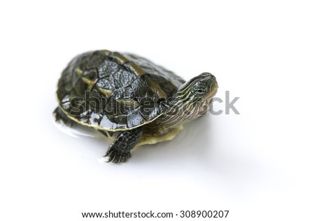 chinese turtle isolated on white
