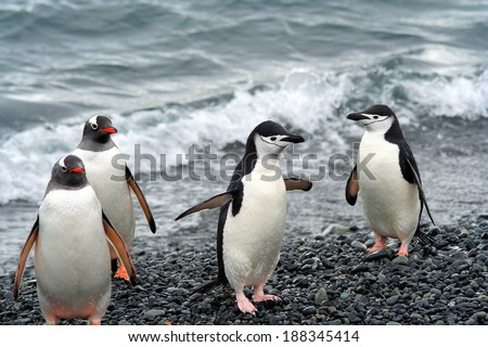 Chinstrap and Gentoo penguins in Antarctica