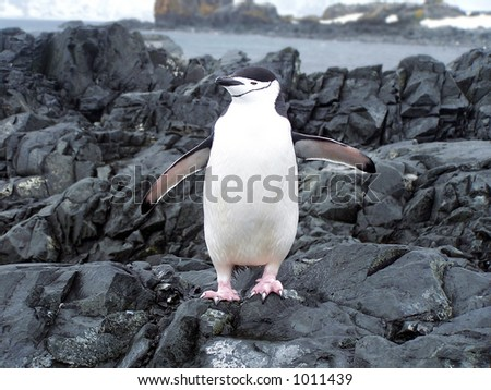 Chinstrap penguin - stock photo