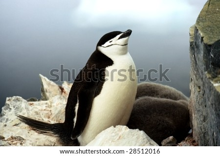 Chinstrap Penguin and Chicks on Cliff in Antarctica - stock photo