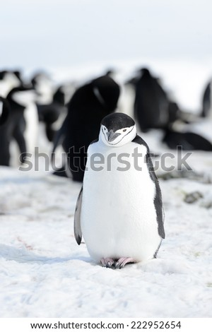 Chinstrap penguin in South Shetland Island - stock photo