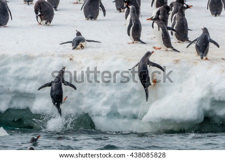 Chinstrap Penguin jumping onto iceberg.