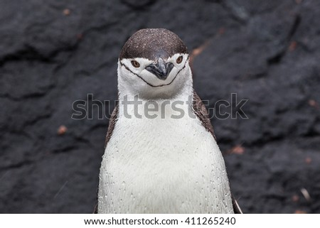 Chinstrap penguin looking at camera on the background of rocks - stock photo