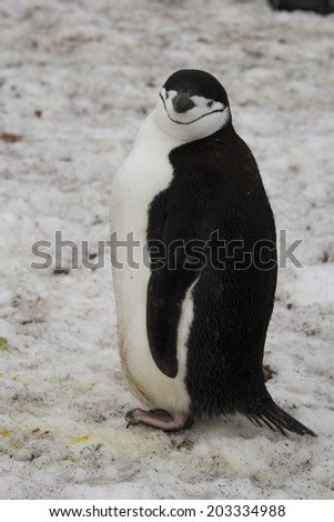 Chinstrap penguin on snow, Half Moon Bay, Antarctica