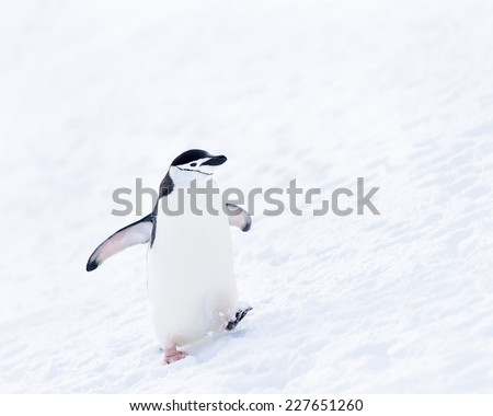 Chinstrap penguin walks on the snow  in ANtarctica