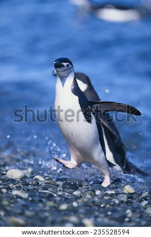 Chinstrap Penguins - stock photo