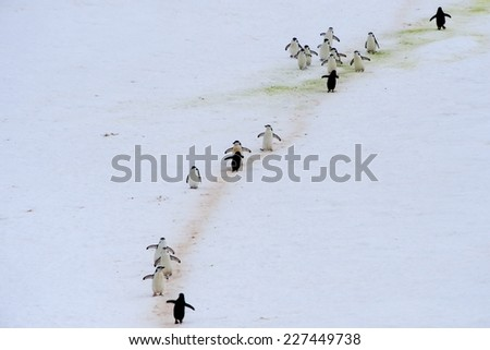 Chinstrap Penguins (Pygoscelis antarctica) Penguins establish colonies in rocky outcrops, sometimes far from the sea. Thousands of penguins trips to the sea excavate these Penguin Highways in the ice. - stock photo