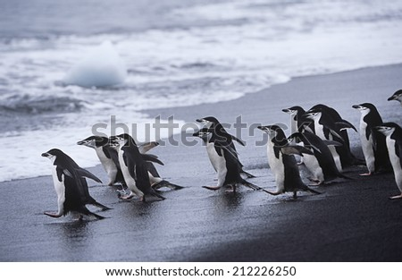 Chinstrap Penguins (Pygoscelis antarcticus) colony walking into sea
