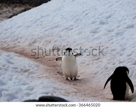 Chinstrap Penguins walking around on Halfmoon Island in Antarctica cooling their blood through their wings