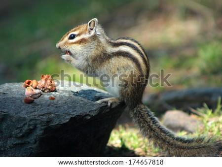 chipmunk - stock photo