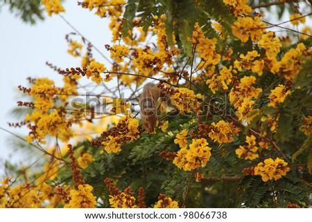 Chipmunk at blooming yellow acacia tree - stock photo
