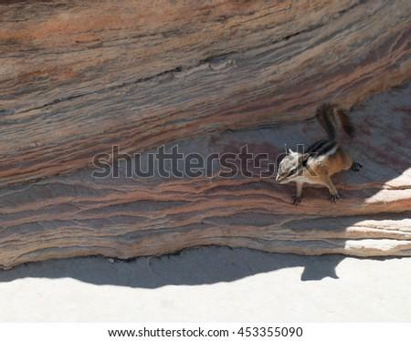 Chipmunk at sandstone - stock photo