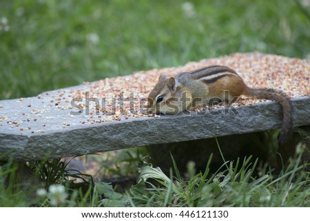 Chipmunk collecting seeds from a backyard feeder.