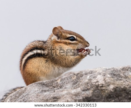 Chipmunk Eating Berries