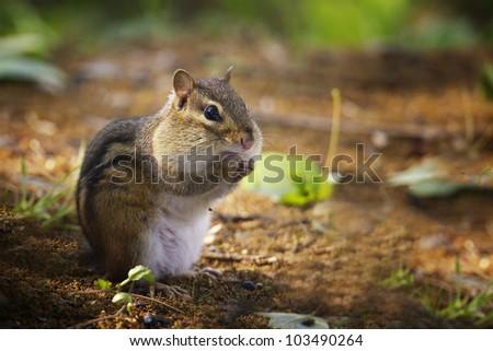 Chipmunk eating bird seed - stock photo