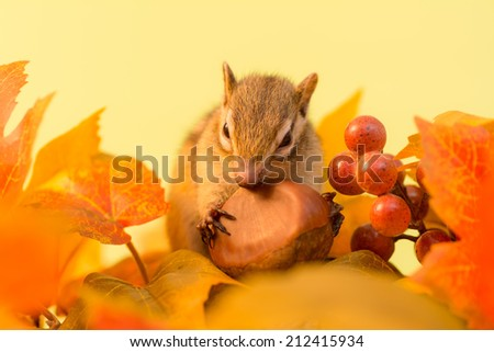 Chipmunk eating chestnuts and autumn leaves - stock photo