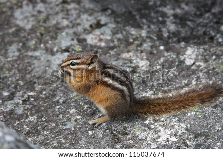 Chipmunk eating on a rock - stock photo