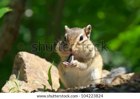Chipmunk eating sunflower seed - stock photo