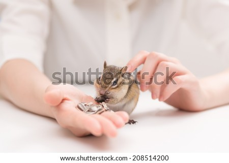 Chipmunk eating sunflower seeds from woman's hands. - stock photo