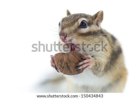 Chipmunk eating walnut, isolated on white background.