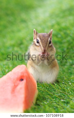 Chipmunk eating watermelon on a green grass